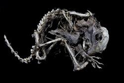 Squirrel Skeleton on Black background