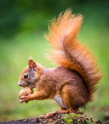 Squirrel, spring with nuts
