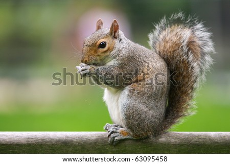 Squirrel standing and eating a nut