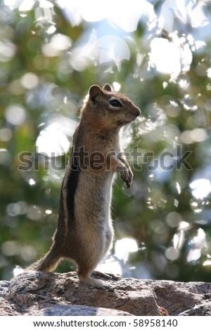 Squirrel standing on alert