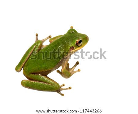 Squirrel Tree Frog Closeup Isolated om White