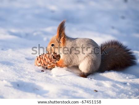 Squirrel with a cedar cone
