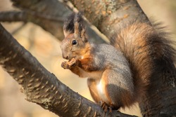 Squirrel with a nut on the tree . Funny squirrel whis a nut . Squirrel in the park.