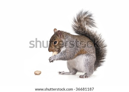 Squirrel with a peanut