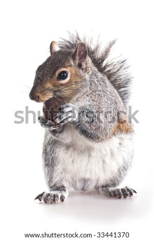 Squirrel  with a wood nut