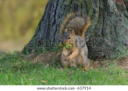 Squirrel with two nuts