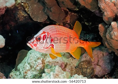Squirrelfish on the coral fish