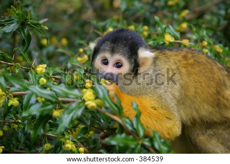 Squirrelmonkey licking nectar out of a flower