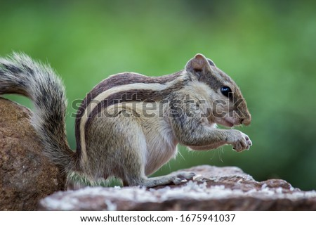 Photo of  Squirrels are members of the family Sciuridae, a family that includes small or medium-size rodents. The squirrel family includes tree squirrels, ground squirrels, chipmunks, marmots, flying squirrels