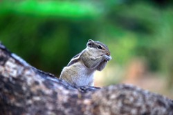 Squirrels are members of the family Sciuridae, includes small or medium-size rodents.  tree squirrels, ground squirrels, chipmunks, marmots, flying squirrel and prairie dogs among other rodents