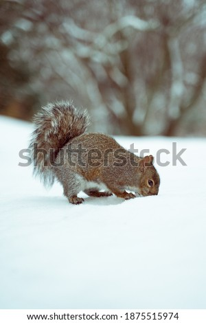 squirrels in the woods, winter time.