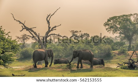 Sri Lanka: group of wild elephants at jungle drinking place of Yala National Park   #562153555