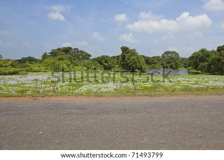 sri lanka landscape with a view from the highway across a shallow lake full of beautiful water hyacinths