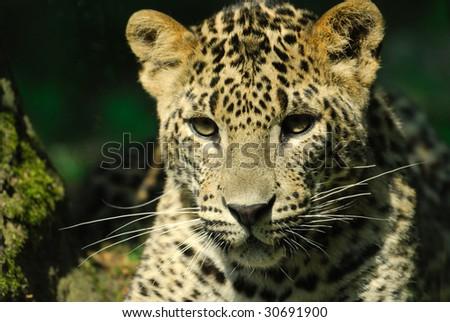 Sri Lanka Leopard (Panthera pardus kotiya)