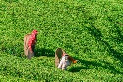Sri Lanka, Nuwara Eliya, Mackwoods  Labookellie, tea plantation, Tea pickers at work