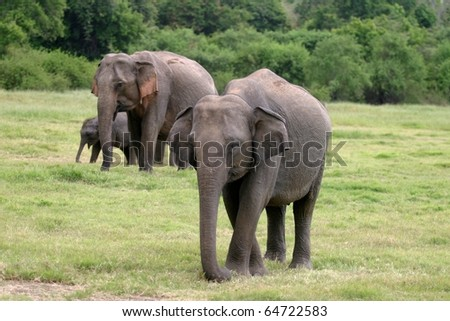 Sri Lankan elephant (the largest of four subspecies of the Asian elephant) in the Minneriya National Park, Sri Lanka.