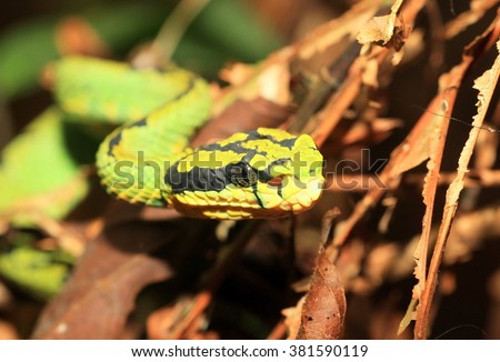 Sri Lankan Green Pit Viper (Pala Polanga) in Sinharaja Forest Reserve ,Sri Lanka #381590119