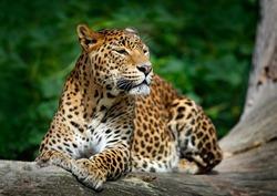 Sri Lankan leopard, Panthera pardus kotiya, big spotted cat lying on the tree in the nature habitat, Yala national park, Sri Lanka.