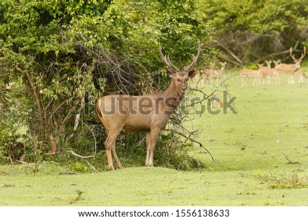 sri lankan wild life sambur Stok fotoğraf ©