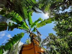 Srilankan Banana Tree and Srilankan Sunlight