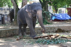 Srilankan Big Domestic Elephant In Temple Of Tooth