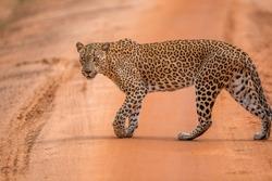 Srilankan Leapord crossing road safari dangerous look