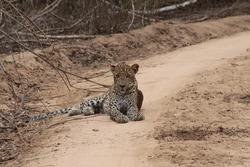 Srilankan Leopard (Panthera pardus kotiya)