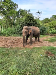 srilankan most beautiful elephant in the park