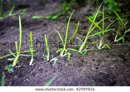 St. Augustine grass sprouts spreading over lawn dirt
