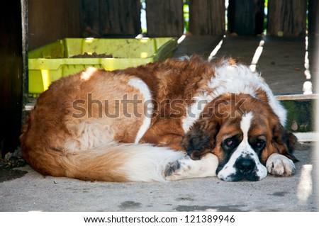 St. Bernard dog on a break