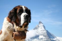 St. Bernard rescue dog in Zermatt, Switzerland, with Mount Matterhorn in the background
