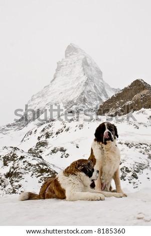 St. Bernardine dogs near Matterhorn. Swiss Alps