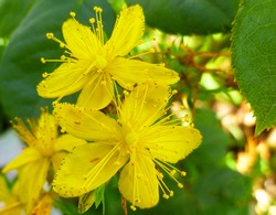 St John's Wort, common perforate St John's-wort, Hypericum perforatum. St John's Wort bloom on green leaves background. Medicinal herb to treat depressions. Selective focus, closeup