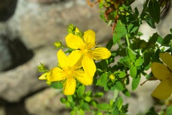St John's Wort, Common perforate St John's-wort, Hypericum perforatum. Yellow inflorescences of St. John's wort. St John's Wort flowers on blurred green leaves background. Selective focus, closeup