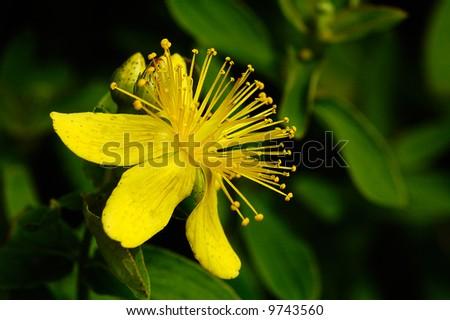 St. John's wort flower with buds close-up in dark background