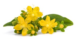 St. John's wort isolated on white background