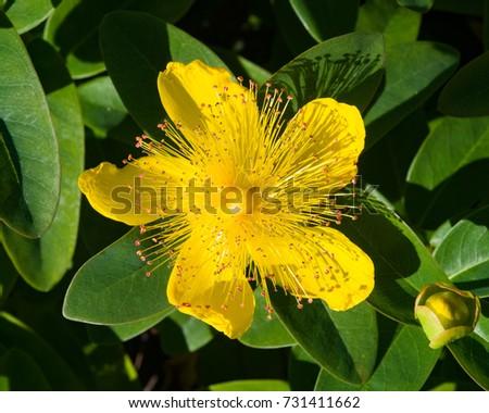 St Johns Wort Or Yellow Rose Of Sharon Hypericum Calycinum