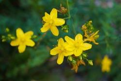 St John's wort plant and flower