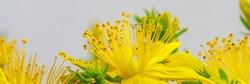 St. John's wort yellow flowers. Hypericum perforatum herbal plant with yellow blossom, close up macro, banner