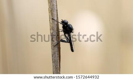 St. Mark's fly or Hawthorn Fly