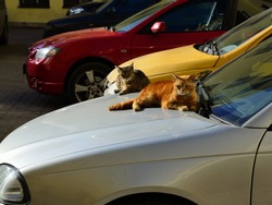 St. Petersburg cats rest on the hood of the car.