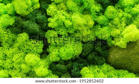 Stabilized moss and lichens close-up top view. Lichen texture. Green plant background. Moss wall background with copy space. Moss and lichens impregnated with glycerin for interior decoration.