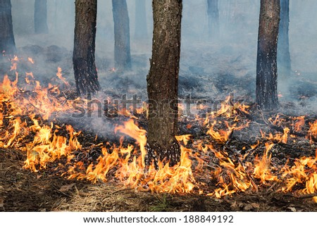 Stable ground fire in pine stand.  Trunks and ground in flame