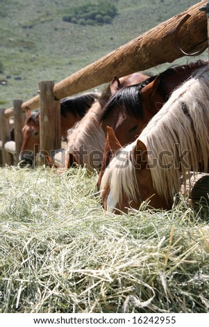 Stable horses in a corral feasting on hay