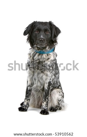 stabyhoun dog isolated on a white background