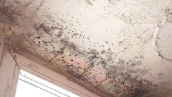 Stachybotrys chartarum also known as black mold or toxic black mold. The mold in cellulose-rich building materials from damp or water-damaged buildings