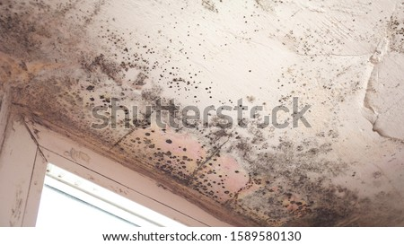Stachybotrys chartarum also known as black mold or toxic black mold. The mold in cellulose-rich building materials from damp or water-damaged buildings ストックフォト ©