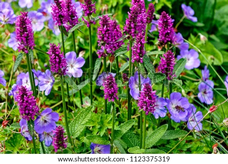Stachys monnieri Hummelo perennial herbaceous flowering plant and Geranium robertianum, commonly known as Herb-Robert Stock foto ©