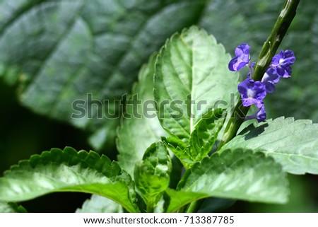 Stachytarpheta jamaicensis (Brazilian Tea, Bastard Vervain, Jamaica False Veravin, Arron's Rod) An outstanding leaf, bouquet like a vine & small violet blossom cling on. close up, natural sunlight. #713387785