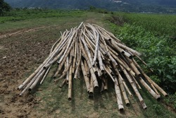Stack of bamboo poles drying on the grass under the sun for building outdoor bamboo hub. Natural construction material. Farm and gardening. Sorting and cutting bamboo canes.